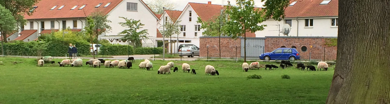 Hof Baumgarte - Landwirtschaft - Heidschnucken - Slider