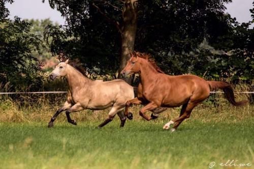Hof Baumgarte - zwei galoppierende Pferde