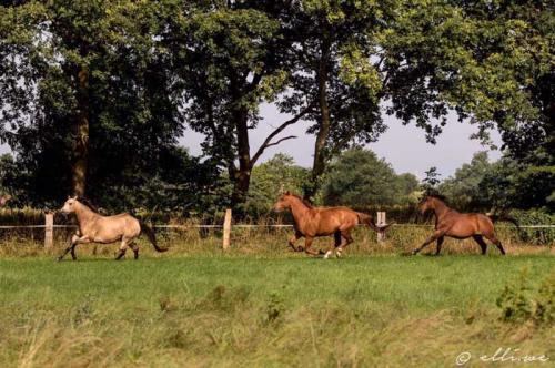 Hof Baumgarte - drei Pferde galoppieren