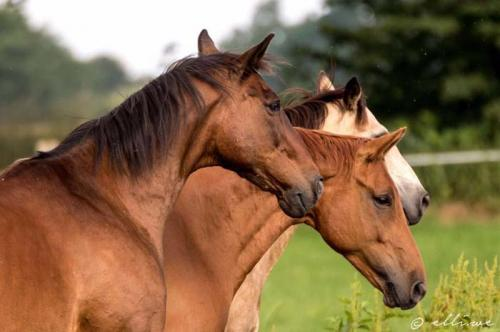 Hof Baumgarte - drei Pferde